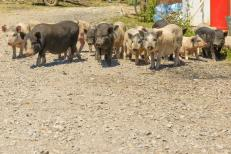 cerdos-en-un-corral-en-el-pueblo-77191805